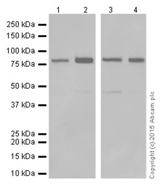 Western blot - Anti-PI 3 Kinase p85 alpha antibody [EPR18702] (ab191606)