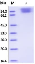 SDS-PAGE - Recombinant Human NLGN4X protein (ab191619)