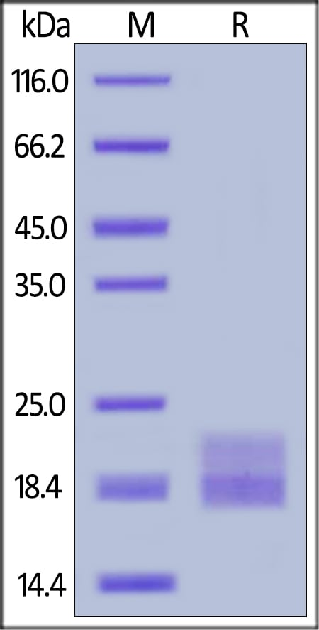 SDS-PAGE - Recombinant mouse VEGFA protein (ab191623)