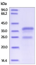 SDS-PAGE - Recombinant human Cathepsin S protein (ab191650)
