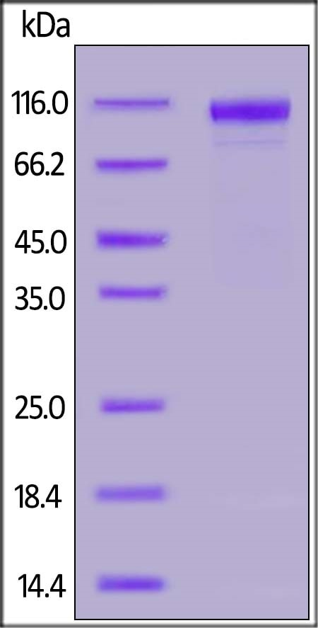 SDS-PAGE - Recombinant Human WSX-1 protein (Active) (ab191679)