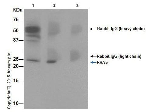 Immunoprecipitation - Anti-RRAS antibody (ab191791)