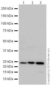 Western blot - Anti-RRAS antibody (ab191791)