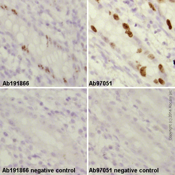 Immunohistochemistry (Formalin/PFA-fixed paraffin-embedded sections) - Anti-Rabbit IgG VHH Single Domain (HRP) (ab191866)