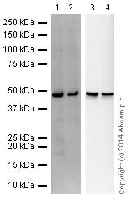 Western blot - Anti-Rabbit IgG VHH Single Domain (HRP) (ab191866)