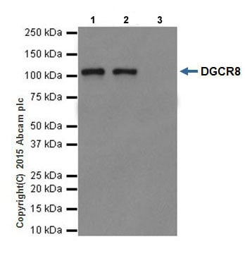 Immunoprecipitation - Anti-DGCR8 antibody [EPR18757] (ab191875)