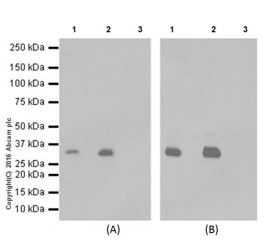 Immunoprecipitation - Anti-Lin28B antibody [EPR18707] (ab191882)