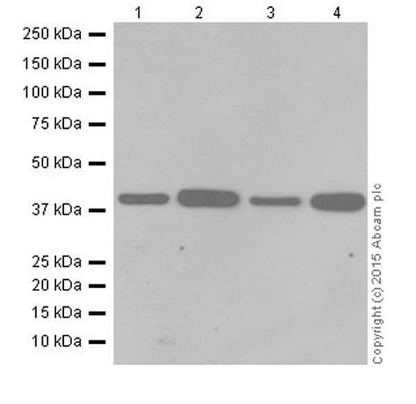Western blot - Anti-SLP-2 antibody [EPR18718] (ab191883)