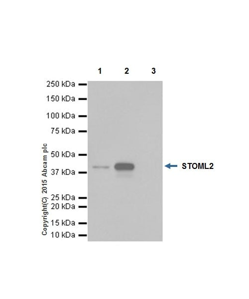 Immunoprecipitation - Anti-SLP-2 antibody [EP18708] (ab191884)