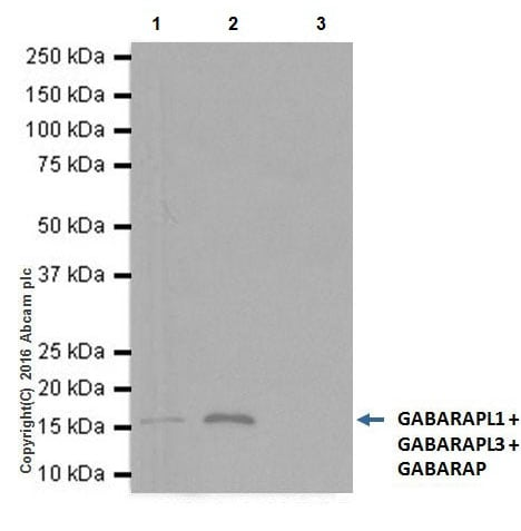 Immunoprecipitation - Anti-GABARAP + GABARAPL1 + GABARAPL3 antibody [EPR18862] (ab191888)