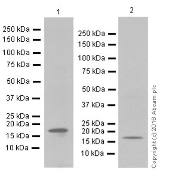 Western blot - Anti-GABARAP + GABARAPL1 + GABARAPL3 antibody [EPR18862] (ab191888)