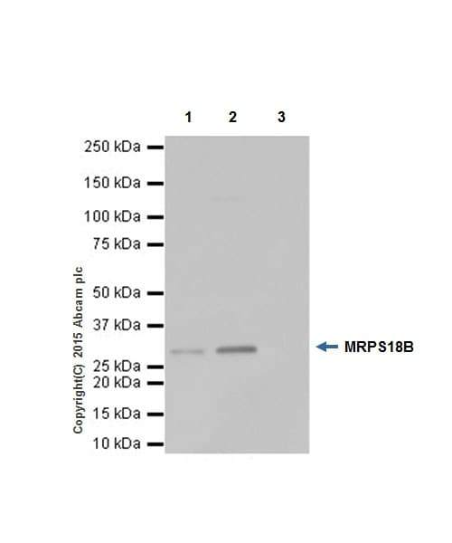 Immunoprecipitation - Anti-MRPS18B antibody [EPR19298] (ab191891)