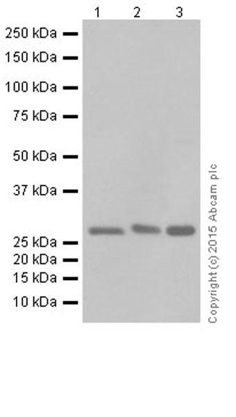 Western blot - Anti-MRPS18B antibody [EPR19298] (ab191891)