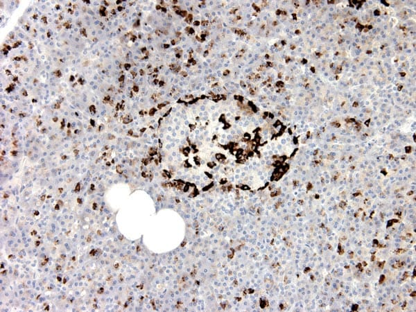 Immunohistochemistry (Formalin/PFA-fixed paraffin-embedded sections) - Anti-GLP1 [5B10] antibody (ab191894)