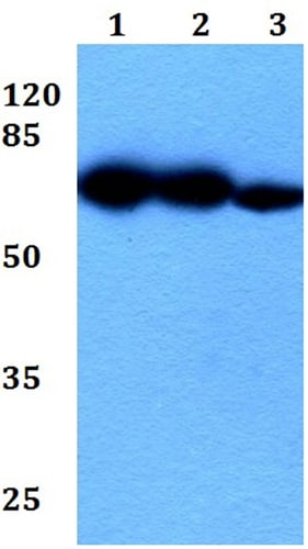 Western blot - Anti-DNER antibody (ab191913)