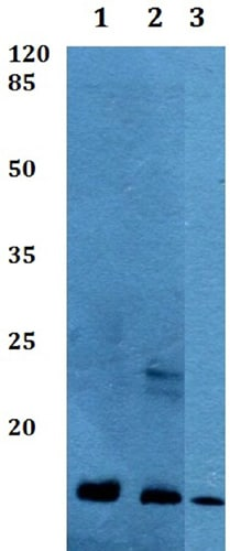 Western blot - Anti-COX8A antibody (ab191915)