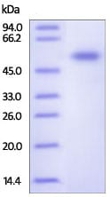 SDS-PAGE - Recombinant Human Frizzled 7 protein (ab191958)