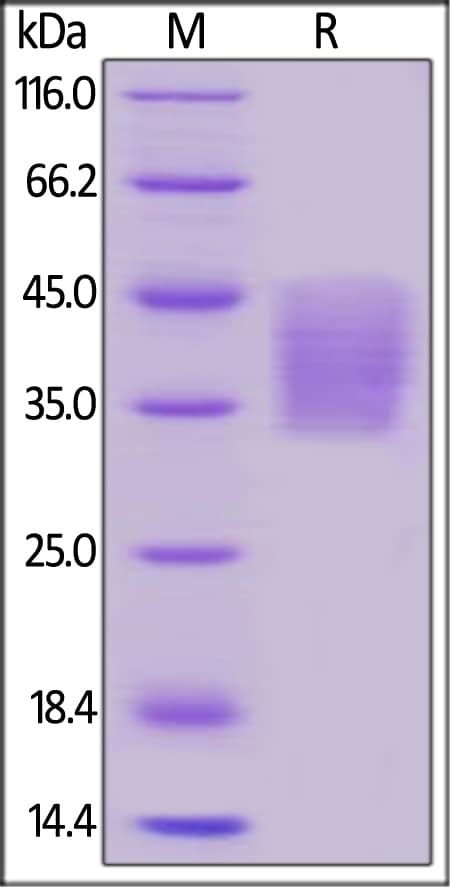 SDS-PAGE - Recombinant human PD-L2 protein (ab191980)