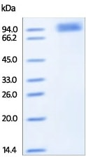 SDS-PAGE - Recombinant human FGFRL1 protein (Fc Chimera) (ab191982)