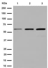 Western blot - Anti-Cathepsin C antibody [EPR7749] - C-terminal (ab192019)
