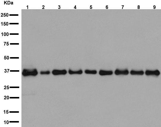 Western blot - Anti-AIP antibody [EPR13585] (ab192024)