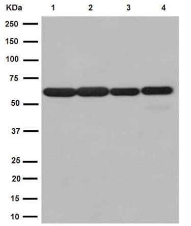 Western blot - Anti-TRIM23/ARD1 antibody [EPR7787] (ab192032)