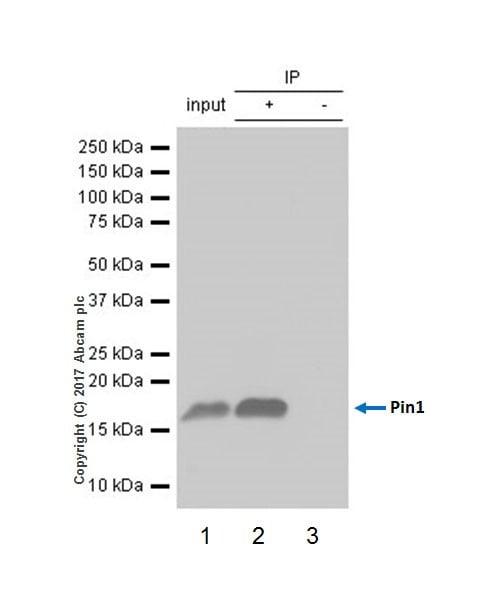 Immunoprecipitation - Anti-Pin1 antibody [EPR18546-317] (ab192036)