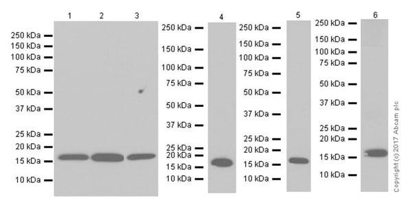 Western blot - Anti-Pin1 antibody [EPR18546-317] (ab192036)