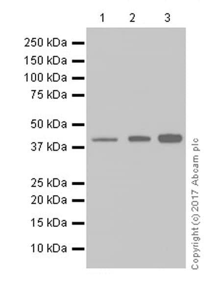 Western blot - Anti-PON2 antibody [EPR18547-2] (ab192038)