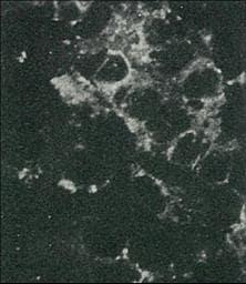 Immunocytochemistry/ Immunofluorescence - Anti-Hepatitis C  Virus Core Antigen antibody [H6-29] (Biotin) (ab192050)