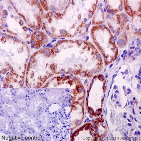 Immunohistochemistry (Formalin/PFA-fixed paraffin-embedded sections) - Anti-NDUFB4 antibody [EPR16240] (ab192243)