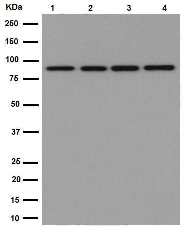 Western blot - Anti-TNS4/CTEN antibody [EPR13792] (ab192247)