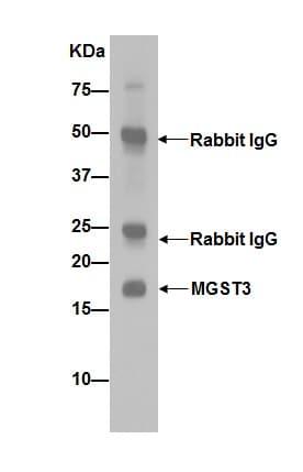 Immunoprecipitation - Anti-MGST3 antibody [EPR12352] (ab192254)