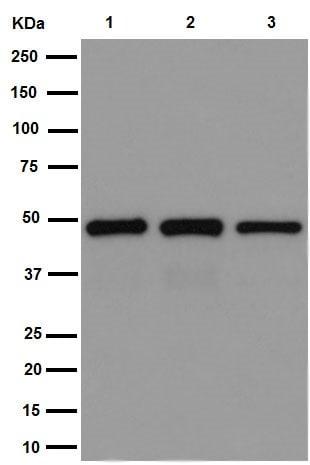 Western blot - Anti-CRTAP/CASP antibody [EPR15121] - N-terminal (ab192261)