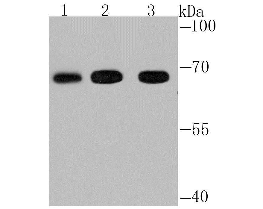 Western blot - Anti-Fbxw7 antibody (ab192328)