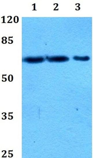 Western blot - Anti-PIF1 antibody (ab192369)