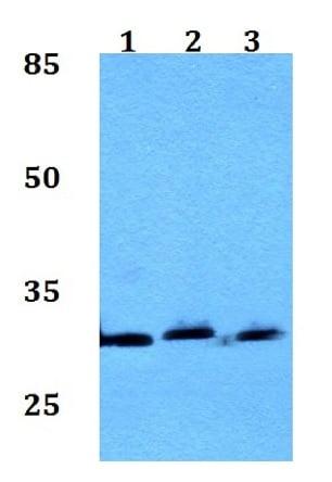 Western blot - Anti-CSN7A antibody (ab192381)