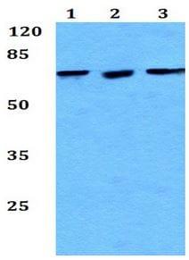 Western blot - Anti-Hypothetical Protein FLJ21908 antibody (ab192404)