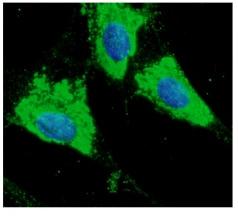 Immunocytochemistry/ Immunofluorescence - Anti-ERp57 antibody - C-terminal (ab192444)