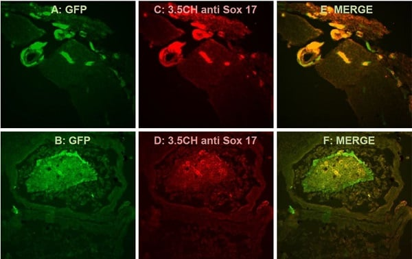 Immunocytochemistry/ Immunofluorescence - Anti-SOX17 antibody [BC24-3.5CH] (ab192453)