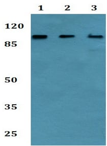 Western blot - Anti-GPI-PLD antibody (ab192543)