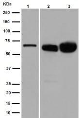 Western blot - Anti-Bovine Serum Albumin antibody [EPR12774] (ab192603)