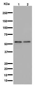 Western blot - Anti-alpha 1 Adrenergic Receptor/ADRA1 antibody [EPR11821(2)] (ab192614)
