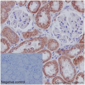 Immunohistochemistry (Formalin/PFA-fixed paraffin-embedded sections) - Anti-DAP13/NDUFA12 antibody [EPR15867-28] (ab192617)