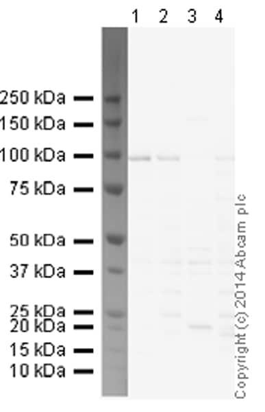 Western blot - Anti-Kv2.1/KCNB1 antibody [K89/34] (ab192761)