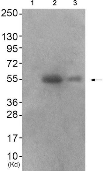 Western blot - Anti-IRF3 (phospho S386) antibody (ab192796)