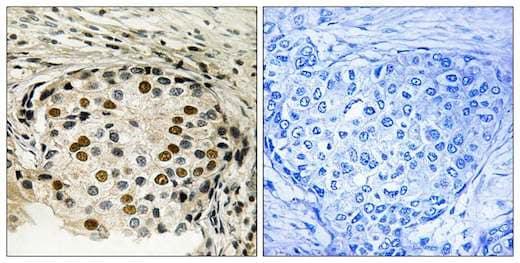 Immunohistochemistry (Formalin/PFA-fixed paraffin-embedded sections) - Anti-OXSR1 (phospho T185) antibody (ab192803)