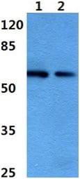 Western blot - Anti-Dab1 antibody (ab192823)