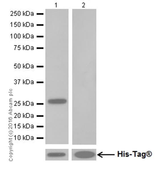 Western blot - Anti-GluN2C antibody [EPR19046] (ab192831)