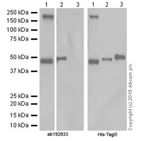 Western blot - Anti-Pellino 1 + Pellino 2 antibody [EPR19282] (ab192833)